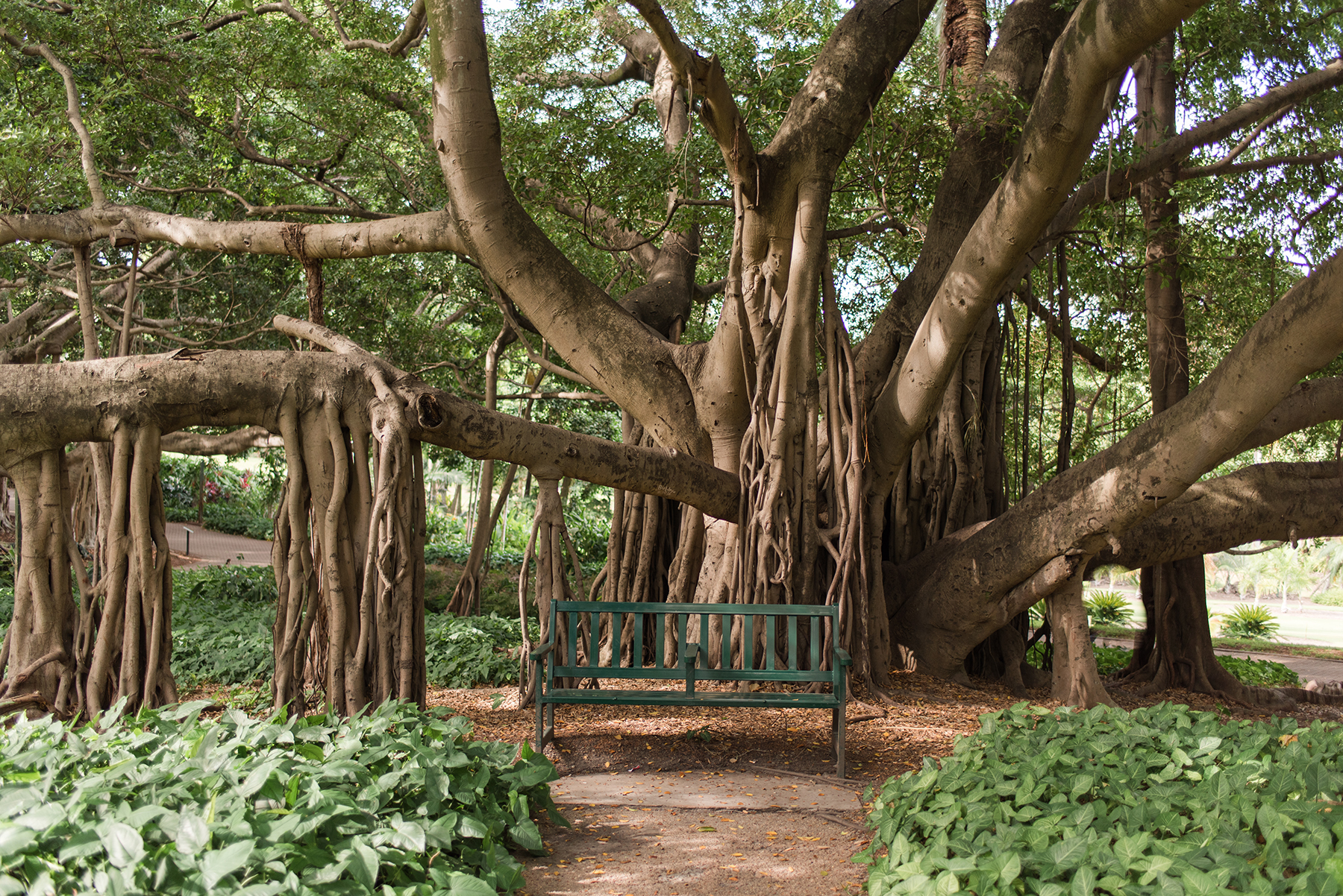 Giant fig tree, Brisbane City Botanic Gardens (Photo istock)